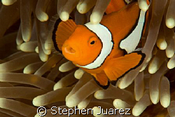 Clown fish Oh No! by Stephen Juarez 